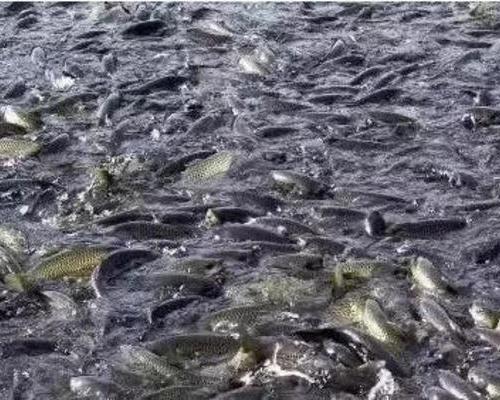 養魚人必看!魚吃食好好的,為什么突然就炸群了?