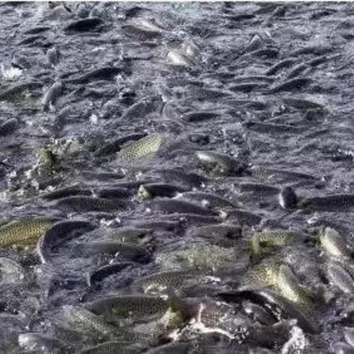 养鱼人必看!鱼吃食好好的,为什么突然就炸群了?