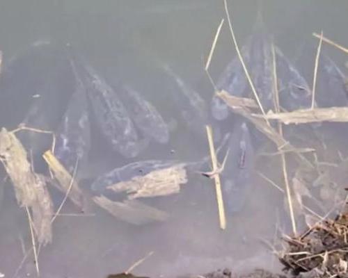 低溫殺手水霉來了,從魚卵到成魚都易被感染,池塘有這些情況立即行動!