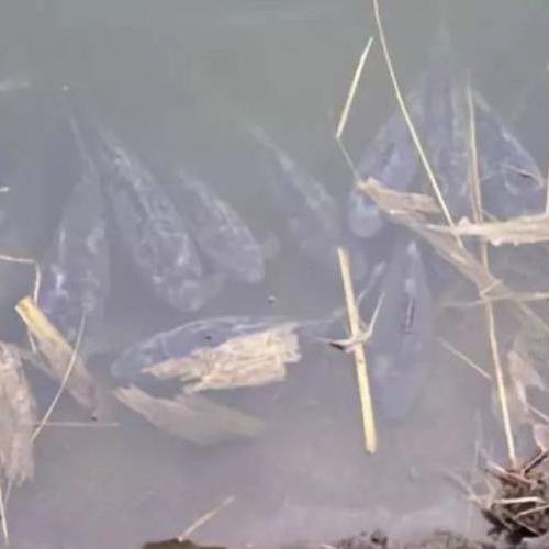 低温杀手水霉来了,从鱼卵到成鱼都易被感染,池塘有这些情况立即行动!
