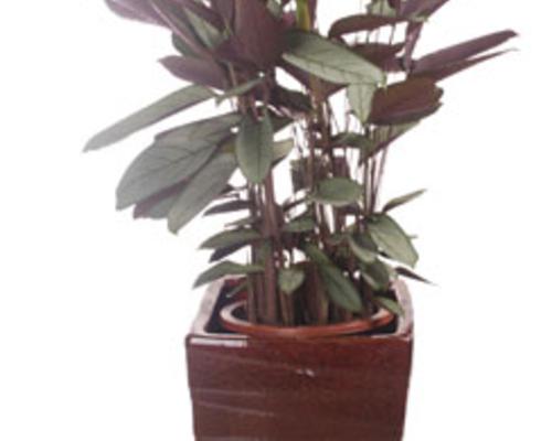 釉盆飞羽竹芋