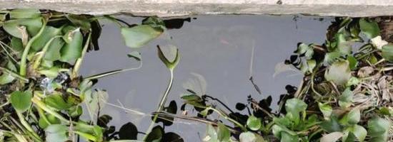 水体富营养化,水葫芦疯长!看泰缘如何进行生态修复