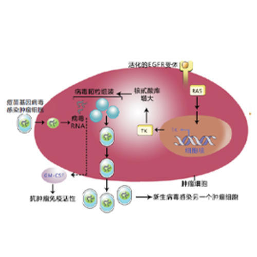 溶瘤病毒/HIM-IC技术平台