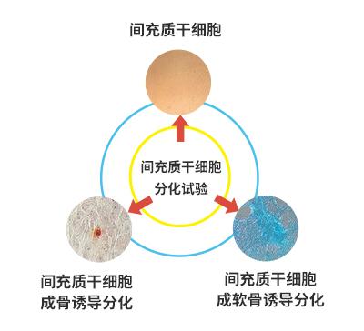 脐带间充质千细胞