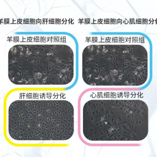 人羊膜上皮细胞技术平台